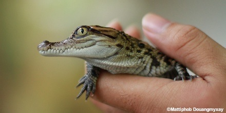 WCS Helps Hatch Rare Siamese Crocodiles in Lao PDR