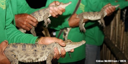 Nineteen Baby Siamese Crocodiles Released in Lao PDR by WCS and Partners